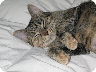 Domestic Shorthair Cat for adoption in Burlington, Ontario - Jasmine