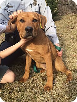 Labrador Retriever Mix Dog for adoption in Bloomfield, Connecticut - Dyshawn