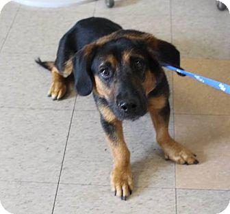Basset Hound Mix Puppy for adoption in Wrightsville, Pennsylvania - Charlie