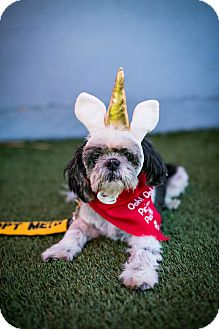 Shih Tzu Dog for adoption in Los Angeles, California - Ducky