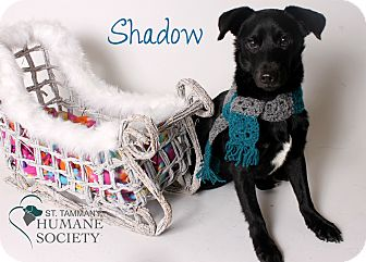 Terrier (Unknown Type, Medium) Mix Dog for adoption in Covington, Louisiana - Shadow