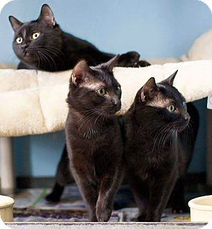 Domestic Shorthair Cat for adoption in Warren, Michigan - The Brothers 3