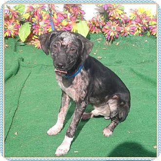 Labrador Retriever Mix Dog for adoption in Marietta, Georgia - MICKEY (R)