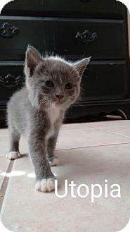 Domestic Shorthair Kitten for adoption in Fountain Hills, Arizona - UTOPIA