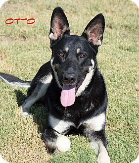 German Shepherd Dog/Labrador Retriever Mix Dog for adoption in Patterson, California - Otto