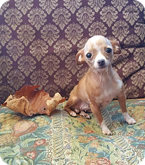Chihuahua Dog for adoption in Houston, Texas - LULU