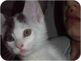 Domestic Shorthair Kitten for adoption in Scottsdale, Arizona - Malcom