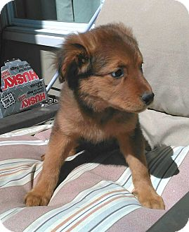 Golden Retriever/Shepherd (Unknown Type) Mix Puppy for adoption in Brattleboro, Vermont - Serena 💖 ADOPTED!
