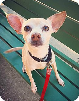 Chihuahua/Italian Greyhound Mix Dog for adoption in Oak Park, Illinois - Clyde
