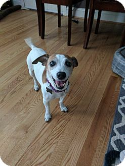 Jack Russell Terrier Mix Dog for adoption in Worcester, Massachusetts - Sophie