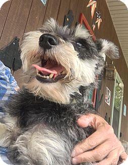 Schnauzer (Miniature) Mix Dog for adoption in Portland, Maine - Otto