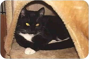 Domestic Shorthair Cat for adoption in Dale City, Virginia - Joey