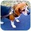 Photo 4 - Beagle Dog for adoption in Indianapolis, Indiana - Kori