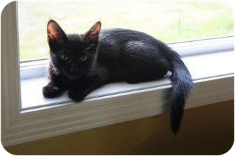 Domestic Mediumhair Cat for adoption in Romulus, Michigan - LUCY