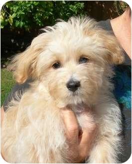 Maltese/Pomeranian Mix Puppy for adoption in El Segundo, California - Jimmer