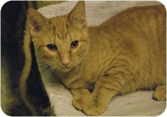 Domestic Shorthair Kitten for adoption in Lunenburg, Massachusetts - Quinn #2