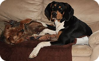 Treeing Walker Coonhound Mix Dog for adoption in Homer, New York - Hennessey (Doolittle)