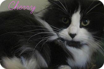 Domestic Longhair Cat for adoption in Menomonie, Wisconsin - Cherry