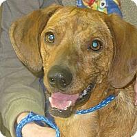 Adopt A Pet :: ZigZag  URGENT  REDUCED - Brattleboro, VT