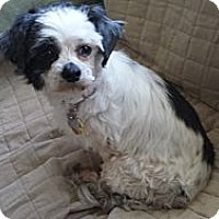 Adopt A Pet :: Suki - Mt Gretna, PA
