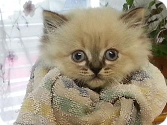 Himalayan Kitten for adoption in New Martinsville, West Virginia - Frankie