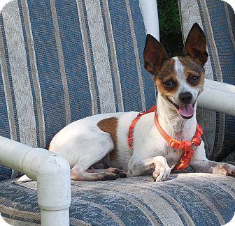 Chihuahua/Italian Greyhound Mix Dog for adoption in Ormond Beach, Florida - Apatchi