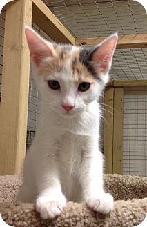 Calico Kitten for adoption in Redding, California - Reba