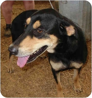 German Shepherd Dog/Rottweiler Mix Dog for adoption in Stewart, Tennessee - Rocky