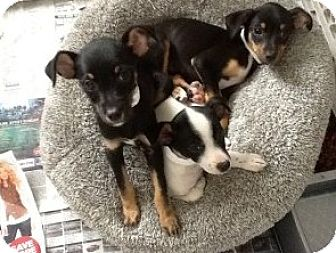 Chihuahua Mix Puppy for adoption in Manhattan, New York - Chihuahua Puppies
