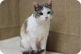 Domestic Shorthair Cat for adoption in Midland, Michigan - Ayonna - NO FEE