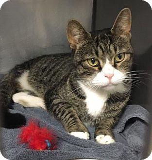 Domestic Shorthair Cat for adoption in Voorhees, New Jersey - Cheshire - 3 legs - PetValu