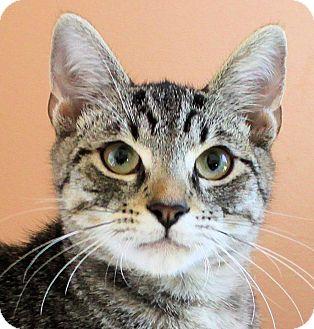 Domestic Shorthair Kitten for adoption in Morganton, North Carolina - Spanky