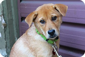 Labrador Retriever/Shepherd (Unknown Type) Mix Puppy for adoption in Los Angeles, California - Rory