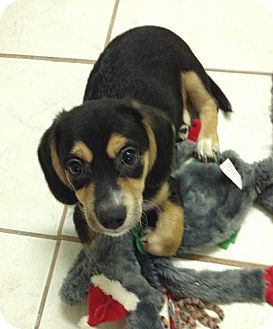 Yorkie, Yorkshire Terrier/Beagle Mix Puppy for adoption in San Diego, California - Stitch