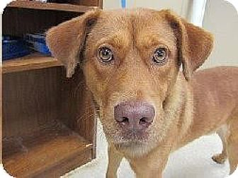 Labrador Retriever Mix Dog for adoption in Laingsburg, Michigan - Rico