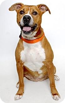 Boxer Mix Dog for adoption in Gloucester, Virginia - FAITH