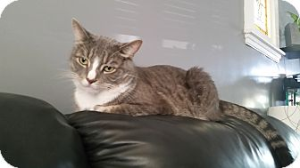 Domestic Shorthair Cat for adoption in Hamilton, Ontario - Dale