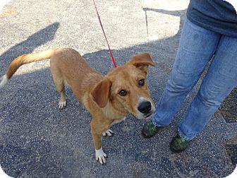 Labrador Retriever Mix Dog for adoption in Delaware, Ohio - Boots