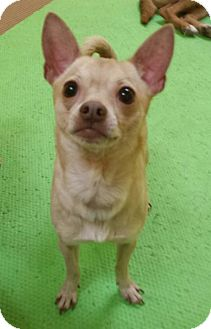 Chihuahua Mix Dog for adoption in Akron, Ohio - Spyder