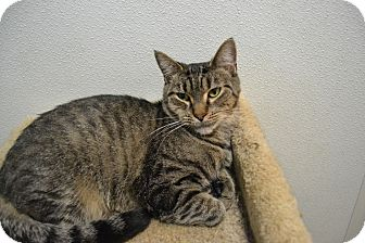 Domestic Shorthair Cat for adoption in Broadway, New Jersey - Mirabell