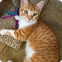 Adopt A Pet :: Bronco - McDonough, GA