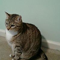 Domestic Shorthair Cat for adoption in Parkton, North Carolina - Aine