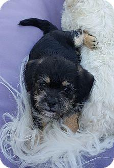 Border Terrier/Yorkie, Yorkshire Terrier Mix Puppy for adoption in San Diego, California - Trixie
