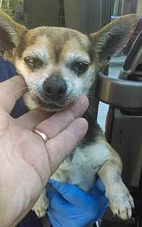 Chihuahua Dog for adoption in Seattle, Washington - Ritchie Roo
