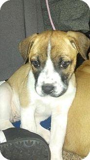 Boxer/Hound (Unknown Type) Mix Dog for adoption in St Louis, Missouri - Glenda