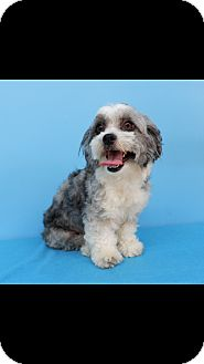 Petit Basset Griffon Vendeen/Havanese Mix Dog for adoption in La Mirada, California - Bambi