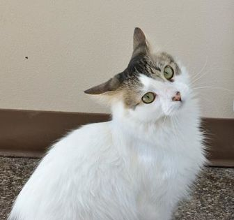 Domestic Mediumhair/Domestic Shorthair Mix Cat for adoption in Redmond, Oregon - Candace