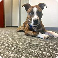 Adopt A Pet :: Hogan Justice - Denton, TX