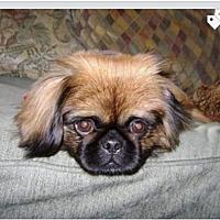 Adopt A Pet :: ZZ-Suki *courtesy post - Rancho Santa Margarita, CA