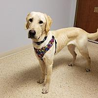 Adopt A Pet :: Duke - ST LOUIS, MO